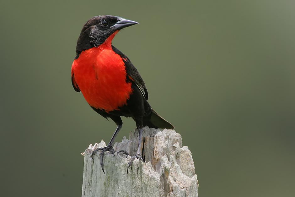 Red-breasted_Blackbird_male_2